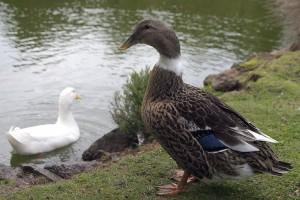 Abacot Ranger Duck Female