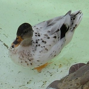 Abacot Ranger Duck Images