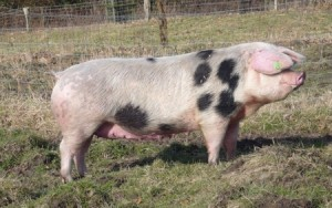 Aksai Black Pied Pig