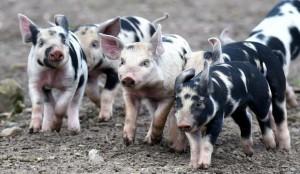 Aksai Black Pied Pig Babies