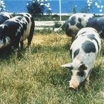 Aksai Black Pied Pig Images
