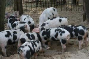 Aksai Black Pied Pigs