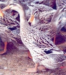 Alabio Duck