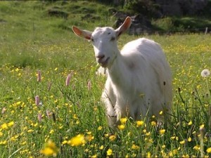 Appenzell Goat Pictures