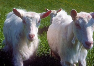 Appenzell Goats