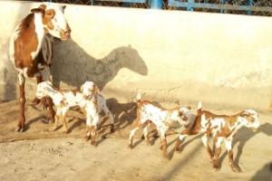 Barbari Goat Babies