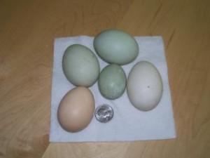 Buff Duck Eggs