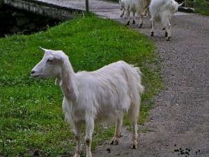 Pictures of Appenzell Goat