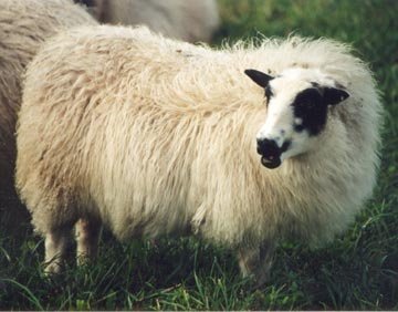 Adal Sheep