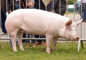 American Yorkshire Pig