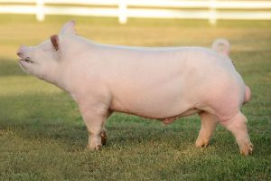 American Yorkshire Pig Pictures
