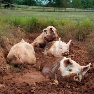 American Yorkshire Pigs