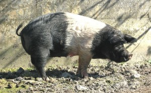 Angeln Saddleback Pig