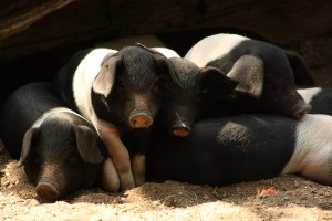 Angeln Saddleback Piglets