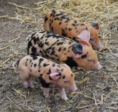 Arapawa Pig Babies