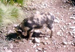 Arapawa Pig Images