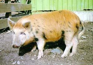 Arapawa Pig Pictures
