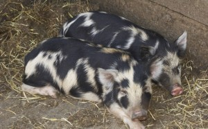 Arapawa Piglet