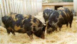 Arapawa Pigs