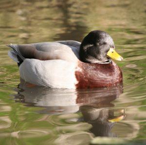Australian Call Duck