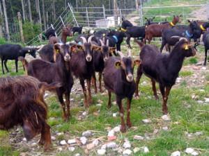 Azpi Gorri Goats