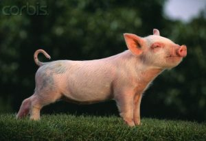 Baby American Yorkshire Pig