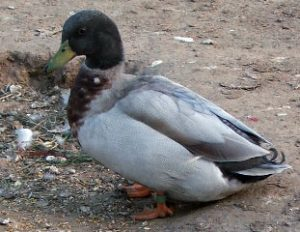 Images of Australian Call Duck