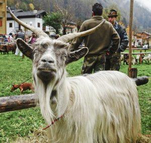 Orobica Goat Images