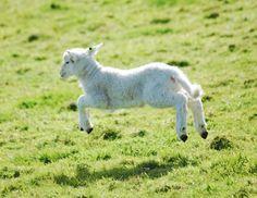 Africana Sheep Baby