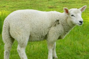 Africana Sheep Images