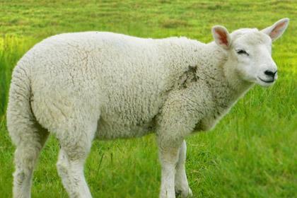 Africana Sheep