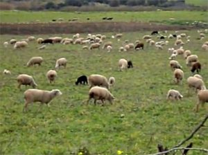 Algarve Churro Sheep Images