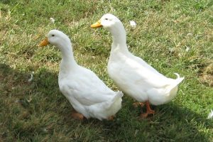 American Pekin Duck Male or Female