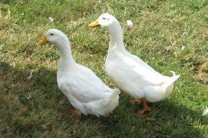American Pekin Duck Male or Female