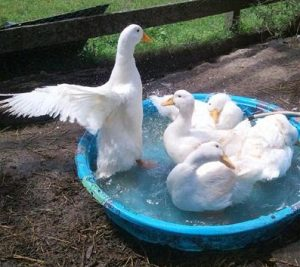 American Pekin Duck Pet
