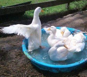American Pekin Duck Pet