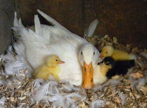 American Pekin Ducklings