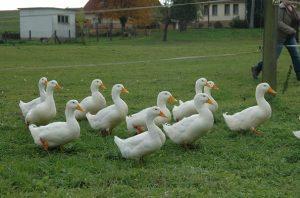 American Pekin Ducks