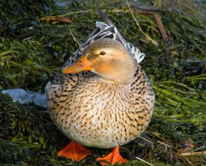 Australian Spotted Duck Images