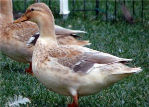 Australian Spotted Duck Pictures