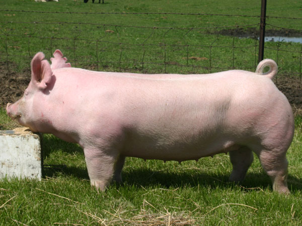 Australian Yorkshire Pig