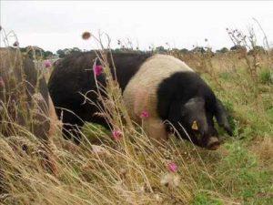 Bazna Pig