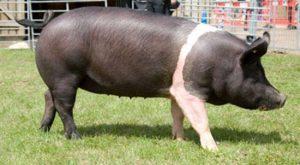 Bazna Pig Images