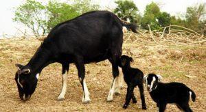 Black Bengal Goat Babies