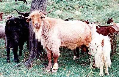 Carpathian Goat