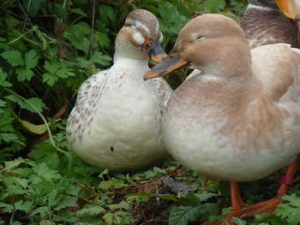 Images of Australian Spotted Duck
