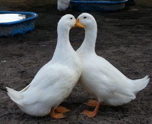 Pekin Duck Images