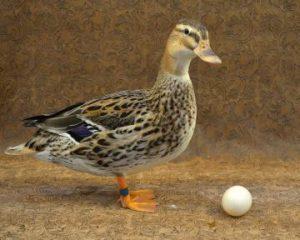 Spotted Australian Duck