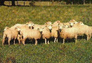 Acipayam Sheep Pictures