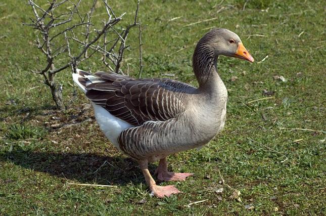 Alsatian Goose